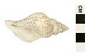 View Northern Siphon Whelk, Mandarin Whelk digital asset number 1