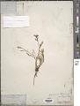 View Calandrinia ciliata (Ruiz & Pav.) DC. digital asset number 1