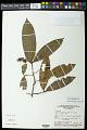 View Elvasia calophyllea DC. digital asset number 0
