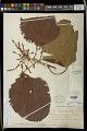 View Alchornea sidifolia Müll. Arg. digital asset number 0