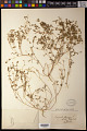 View Euphorbia chamaesyce digital asset number 0