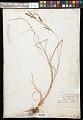 View Carex kelloggii W. Boott var. kelloggii digital asset number 0
