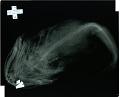 View Myoxocephalus batrachoides digital asset number 3