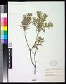 View Daphne gnidium L. digital asset number 0