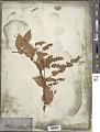 View Polygonum scandens L. digital asset number 1