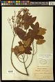 View Heteropterys grandiflora A. Juss. digital asset number 0