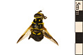 View Hoverfly digital asset number 0
