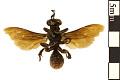 View Mole Cricket Hunter Wasp digital asset number 1
