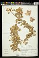 View Megistostegium nodulosum (Drake) Hochr. digital asset number 0