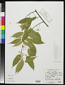 View Baphia capparidifolia Baker digital asset number 0