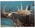 View Megaloceros giganteus (Blumenbach) digital asset number 3