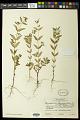 View Euphorbia lasiocarpa Klotzsch digital asset number 0