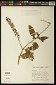 View Phytolacca rivinoides Kunth & C.D. Bouché digital asset number 0
