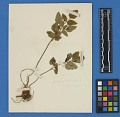 View Botanical Specimens From Quileute Indians digital asset number 34