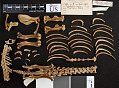 View Aplodontia rufa californica digital asset number 9
