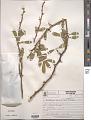 View Acanthosyris spinescens (C. Mart. & Eichler) Griseb. digital asset number 1