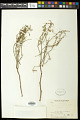 View Euphorbia angusta Engelm. in Emory digital asset number 0
