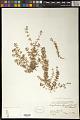 View Euphorbia thymifolia L. digital asset number 0