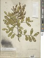 View Sophora secundiflora DC. digital asset number 1