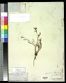View Calandrinia ciliata (Ruiz & Pav.) DC. digital asset number 0