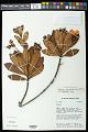 View Bonnetia stricta (Nees) Nees & Mart. digital asset number 0