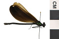 View Ebony Jewelwing, Damselfly digital asset number 1