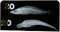 View Butis melanopterus digital asset number 0
