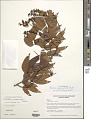View Schnella guianensis (Aubl.) Wunderlin digital asset number 1