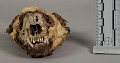 View Decorated Raccoon Skull Medicine digital asset number 1