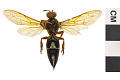 View Eastern Cicada Killer digital asset number 1