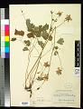 View Aquilegia formosa var. truncata M.E. Jones digital asset number 0