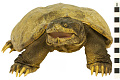 View Snapping Turtle digital asset number 6