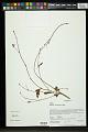 View Hibiscus caerulescens Baill. digital asset number 0