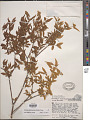 View Buckleya distichophylla (Nutt.) Torr. digital asset number 1