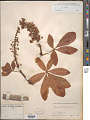 View Aesculus parryi A. Gray digital asset number 1