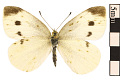 View Cabbage White digital asset number 0