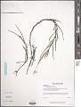 View Heteranthera dubia (Jacq.) MacMill. digital asset number 1