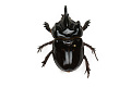 View Ox Beetle digital asset number 1