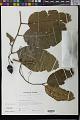 View Cryptocarya samoensis Christoph. digital asset number 0