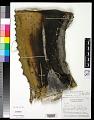 View Agave salmiana var. ferox (K. Koch) Gentry digital asset number 0