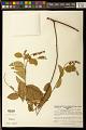 View Securidaca diversifolia (L.) S.F. Blake digital asset number 0