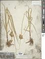 View Bolboschoenus maritimus subsp. paludosus (A. Nelson) T. Koyama digital asset number 1