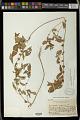 View Acalypha rhomboidea Raf. digital asset number 0