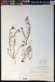 View Quinchamalium gracile Brongn. digital asset number 0