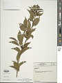 View Aureliana fasciculata (Vell.) Sendtn. digital asset number 1