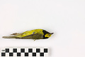 View Hooded Warbler, Hooded Warbler digital asset number 0