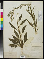 View Nicotiana attenuata Torr. ex S. Watson in C. King digital asset number 0