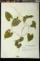 View Dioscorea cordata (L.) Raz digital asset number 0