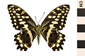 View Citrus Swallowtail, Orange Dog digital asset number 1