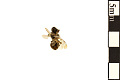 View Macropis Cuckoo Bee digital asset number 1